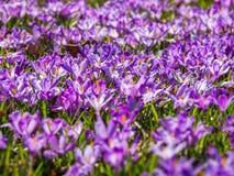 Blomma för krokusar Arkivfoto