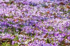 Blomma för krokusar Royaltyfria Bilder