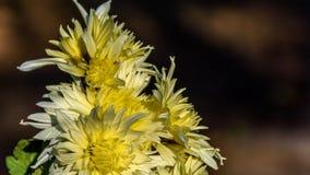 Blomma för krysantemumblomma arkivbilder
