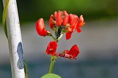 Blomma för löpareböna som hemsökas med svarta bladlöss arkivbilder