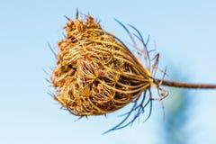 Blomma för lös morot för Daucuscarota, Valconca, Italien royaltyfri fotografi