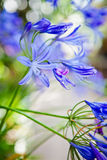 Blomma för lilja för blåttAgapanthus afrikansk Fotografering för Bildbyråer