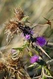 Blomma för lilor för fälthöst ljus Royaltyfri Fotografi