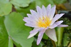 Blomma för Lotus liljavatten som blommar i trädgård Arkivfoto