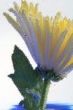 blomma för luftbubblor Royaltyfri Foto