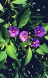 Blomma för Lycianthes rantonnetiililor arkivfoto