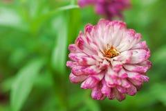 Blomma för magentafärgad och vit zinnia i trädgården Fotografering för Bildbyråer