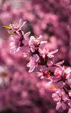 blomma för mandelar Royaltyfria Bilder
