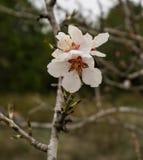 Blomma för mandelträd, Februari 2018, Spanien Arkivbilder