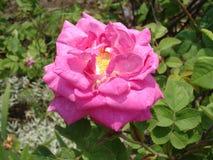 Blomma för matta för Rosa 'rosa färgblomma' Arkivfoton