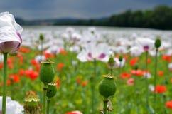 Blomma för opiumvallmo Royaltyfria Foton