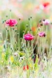 Blomma för opiumvallmo i trädgård Arkivbilder