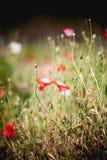 Blomma för opiumvallmo i trädgård på angkhangberget Thailand Royaltyfria Foton