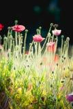 Blomma för opiumvallmo i trädgård på angkhangberget Thailand Royaltyfri Fotografi