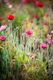 Blomma för opiumvallmo i trädgård på angkhangberget Thailand Royaltyfria Bilder