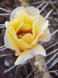 Blomma för Opuntiakaktusöken Arkivfoton