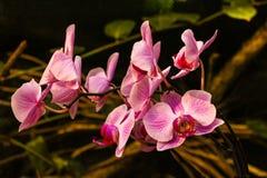 Blomma för orkidé för rosa färgphalaenopsis- eller maldendrobium i bakgrund för tropisk trädgård för sommar eller för vårdag blom royaltyfri bild