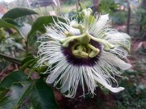 Blomma för passionfrukt royaltyfri foto