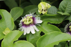 Blomma för passionfrukt royaltyfri bild