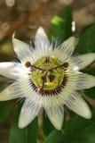 Blomma för passionfrukt Fotografering för Bildbyråer