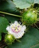 Blomma för passionfrukt Royaltyfri Fotografi