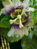 Blomma för passionfrukt i den maximum för ` s arkivfoto