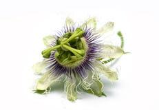 Blomma för passionfrukt på en vit bakgrund Arkivfoton