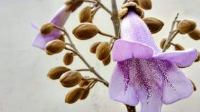 Blomma för Paulownia` s fotografering för bildbyråer