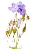 Blomma för pelargon (johnsons blått) arkivbild
