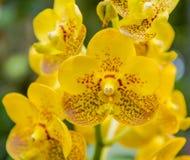 Blomma för Phalaenopiss orkidé arkivbild