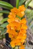 Blomma för Phalaenopiss orkidé arkivbilder
