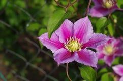 Blomma för purpurfärgad klematis Arkivfoto