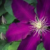 Blomma för purpurfärgad klematis i en trädgård Arkivfoto