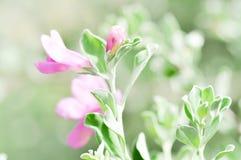 Blomma för purpurfärgad vis man Fotografering för Bildbyråer