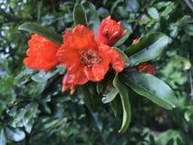 Blomma för röd färg för granatäpple Royaltyfri Fotografi