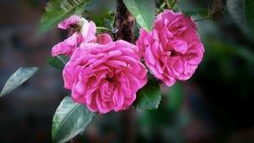 Blomma för röda rosor fotografering för bildbyråer