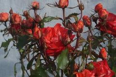 Blomma för röda rosor Royaltyfri Fotografi
