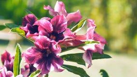 Blomma för ros för Closeuplilaöken lager videofilmer