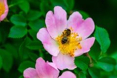 Blomma för rosa färgroshöft på en buskenärbild arkivbilder