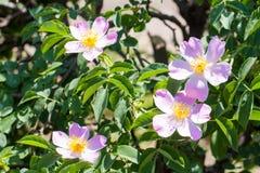 Blomma för rosa färgroshöft på en buskenärbild arkivfoto