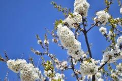 Blomma för söt körsbär Royaltyfria Foton