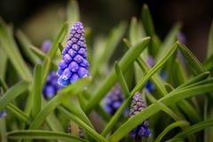 Blomma för ` s för druvahyacint royaltyfria foton