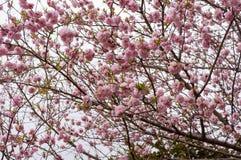 Blomma för Sacura trea Arkivbilder