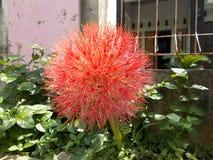 Blomma för Scadoxus multiflorusHaemanthus Royaltyfri Foto