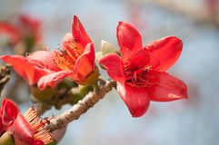 Blomma för siden- bomull Fotografering för Bildbyråer