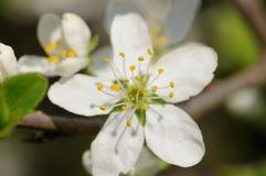 Blomma för slån arkivfoto