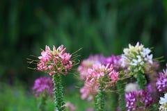 Blomma för spindelblomma (Cleomespinosaen) fotografering för bildbyråer