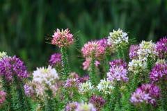 Blomma för spindelblomma (Cleomespinosaen) arkivfoton