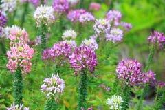 Blomma för spindelblomma (Cleomespinosaen) royaltyfri bild
