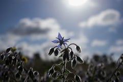 Blomma för stjärna för lös blomma för Borageört aka Royaltyfri Fotografi